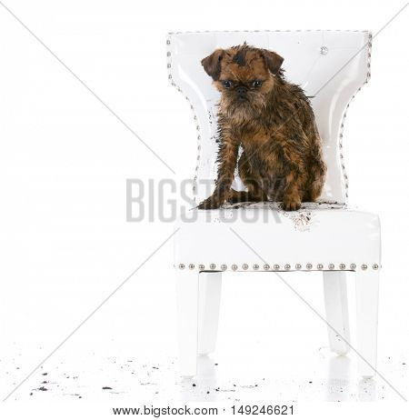 naughty dog sitting on white leather chair isolated on white background