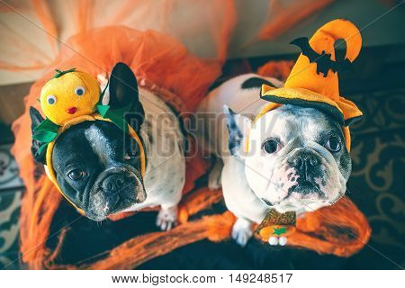 Portrait of couple of dogs in disguise for Halloween