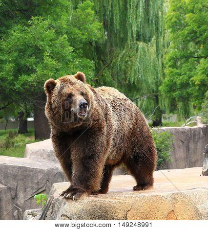 North American Brown Bear pacing along rock ledge