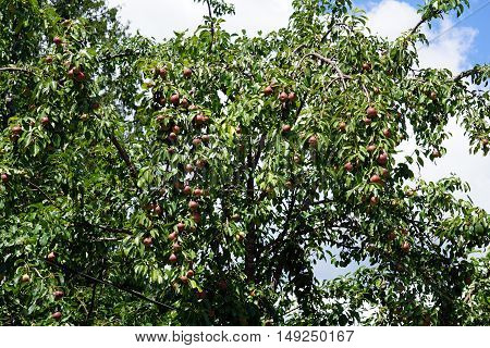 Pears ripen in a pear tree (Pyrus communis) in Harbor Springs, Michigan during August.