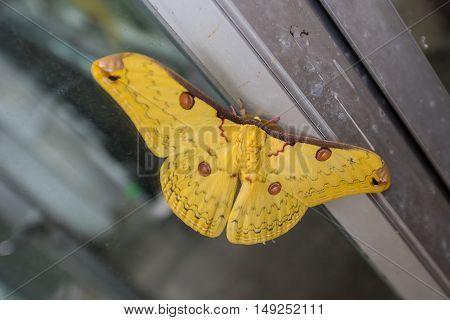 Golden Emperor Moth ( Loepa sikkima ) on window.
