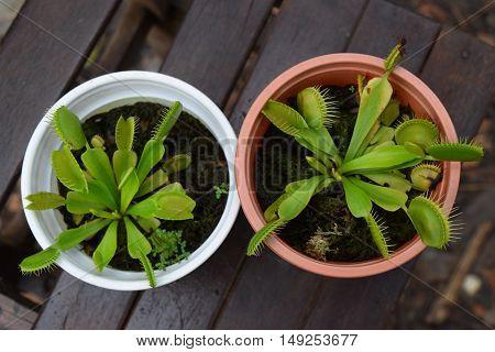 Venus Flytrap carnivorous plant Dionaea muscipula on wooden background