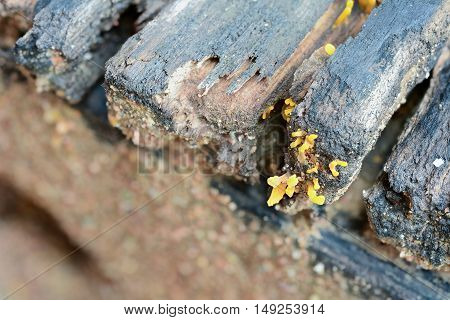 Yellow jelly fungus grows on decaying wood (Calocera viscosa)