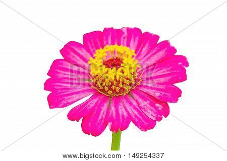 Zinnia flower (Zinnia violacea Cav.) closeup of red Zinnia flower isolated on white background.Saved with clipping path.