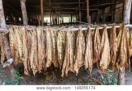 Tobacco leaves drying in the shed on natural light.