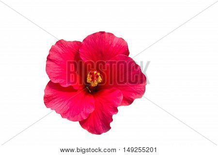 Macro of pink China Rose flower (Chinese hibiscus Hibiscus rosa-sinensis Hawaiian hibiscus shoe flower ) isolate on white background.Saved with clipping path