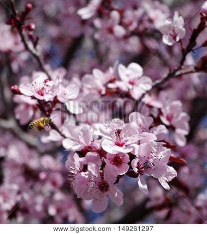 Bee caught in mid flight pollinating Ornamental Plum blossoms