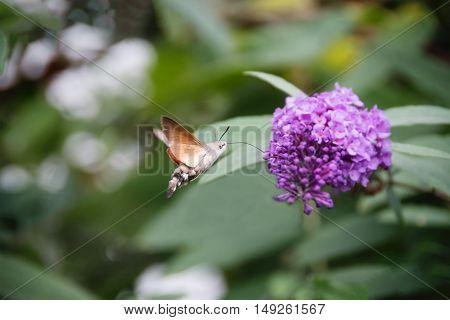 Hummingbird Hawk-moth Macroglossum stellatarum drinking nectar from purple buddleia flower.