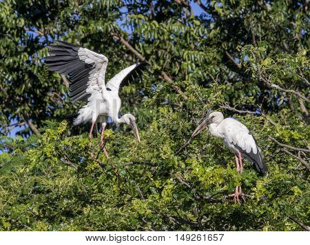 Image of stork perched on tree branch.