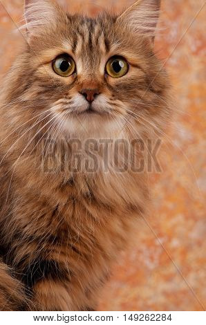 Portrait of a beautiful siberian cat with big yellow eyes over dirty orange background