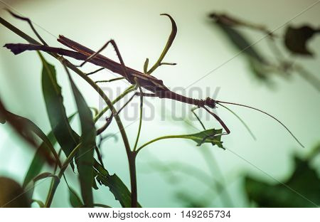 Stick Insect On A Plant