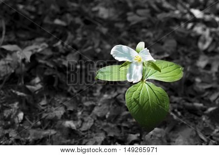 White trillium flower growing in the forrest