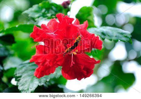 MALACCA, MALAYSIA -NOVEMBER 11, 2012: Hibiscus is a genus of flowering plants in the mallow family, Malvaceae. It was a Malaysian national flower.