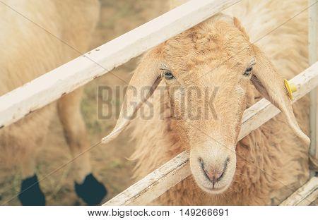The sheep on farm in Bangkok, Thailand