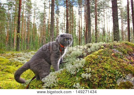 Scottish fold grey cat in a pine forest, climbed a large granite stone covered with green and gray moss, alarmed, frightened look
