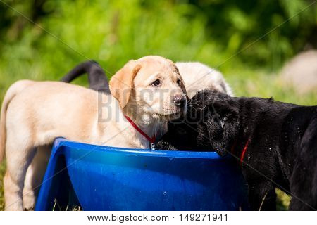 Puppies Labrador swimming in a bowl of water. Adorable Cute Young Puppies Outside in the Yard Taking a Bath