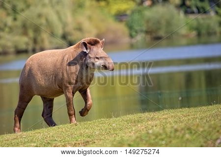 Tapir in a clearing, in the wild
