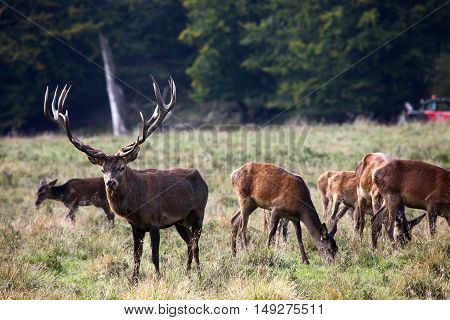 Red deer stag in the autumn forest
