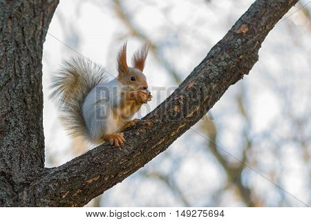 Eurasian red squirrel having lunch on a tree branch.