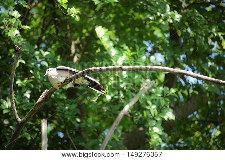 Pigeon sitting on tree branch with Blue sky background.