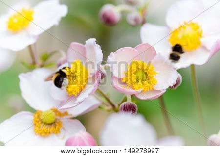a bee collects pollen from flower, close-up.  Note: Shallow depth of field