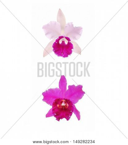 Two white, pink Orchids