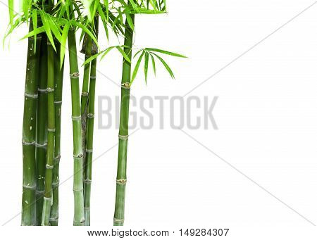 Bamboo green tree isolated on white background