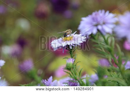 beautiful flower blue aster and bee in the autumn garden