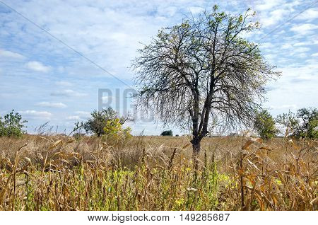 Beautiful autumn landscape with corn, tree and blue sky
