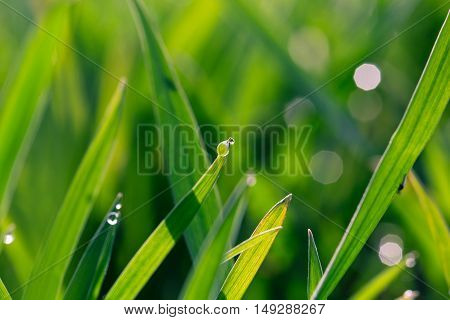 Water Drops On The Green Grass. Nature