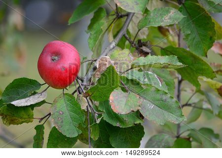 One red organic apple on branch in late autumn before picking