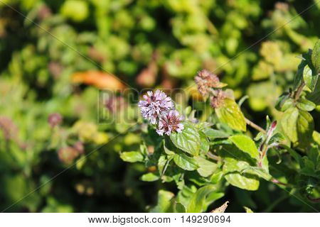 Wild mint flowers growing on the meadow