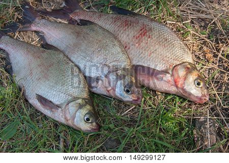 Three Common Bream Fish On Green Grass. Catching Freshwater Fish On Natural Background.