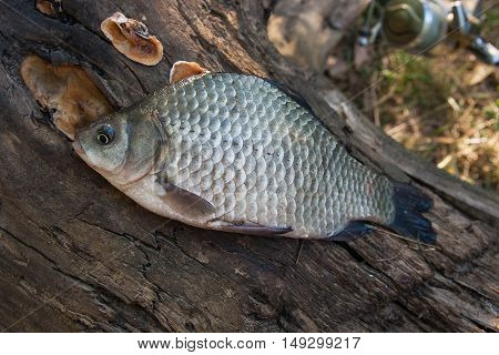 One Crucian Fish  Or Carassius On Old Tree Trunk. Catching Freshwater Fish On Natural Background.