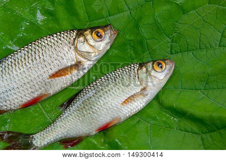 Close Up View Of Two Common Rudd Fish On Natural Background.