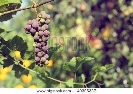 bunches of grapes ripening in the rays of the sun Autumn / harvest sweet dessert