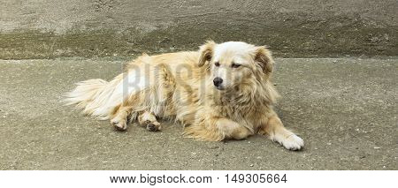 Portrait of a yellow dog resting in yard.