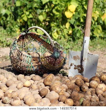 rustic wicker basket and a spade on the background of heaps of potatoes in the vegetable garden / tools for harvesting