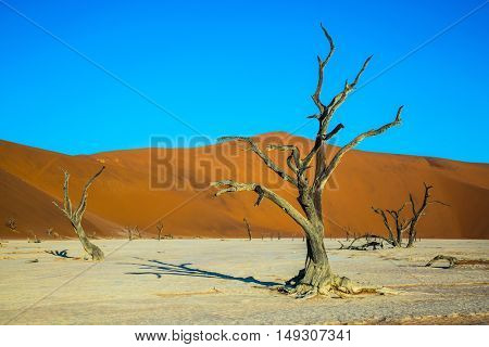 The bottom of dried lake Deadvlei. Beautifully curved a dry tree between orange dunes. Namibia, ecotourism in Namib-Naukluft National Park