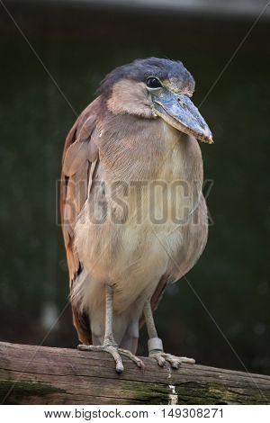Boat-billed heron (Cochlearius cochlearius). Wildlife animal.
