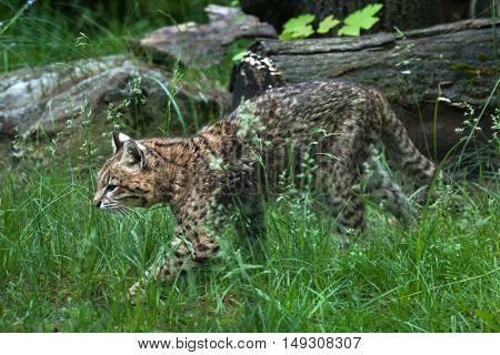 Geoffroy's cat (Leopardus geoffroyi). Wildlife animal.