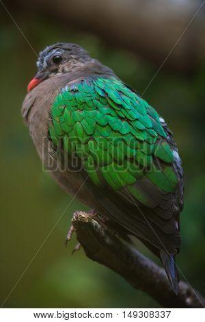 Common emerald dove (Chalcophaps indica). Wildlife animal.