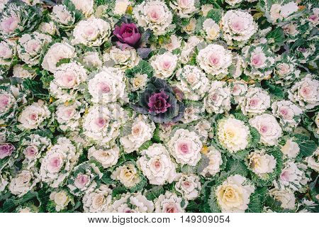 Nature background of purple decorative ornamental cabbage. Top view on Flowering ornamental Cabbage. Serenity pattern created from a lot of flowers that grows in garden.