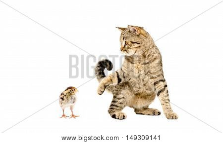 Playful cat Scottish Straight and little quail isolated on white background