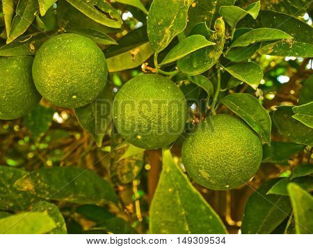tree with green lime fruit on a branch