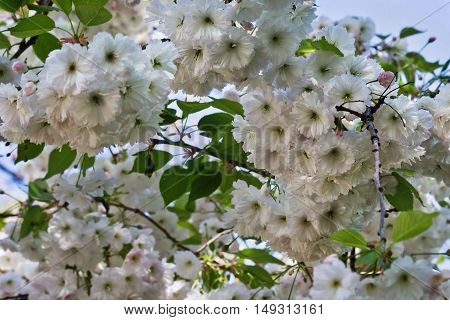 white flowers sakura closeup on a sky background