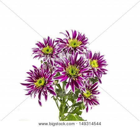 the flowers are lilac chrysanthemums on a white background.
