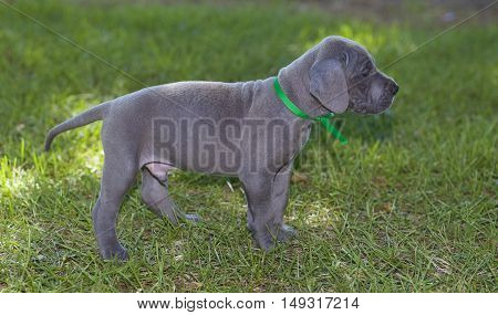 Grey Great Dane puppy male standing on some grass