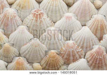 Sea scallops tiled beige background texture. shells background