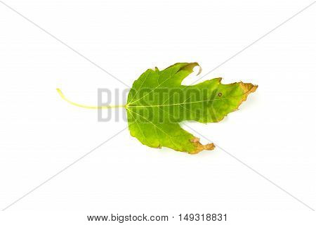 Dry fallen autumn leaf of a tree on over white
